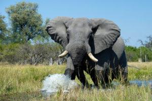 Botswana Okavango Elefant